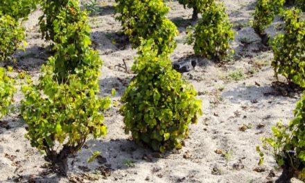Csongrádi Kadarka szőlővessző akció