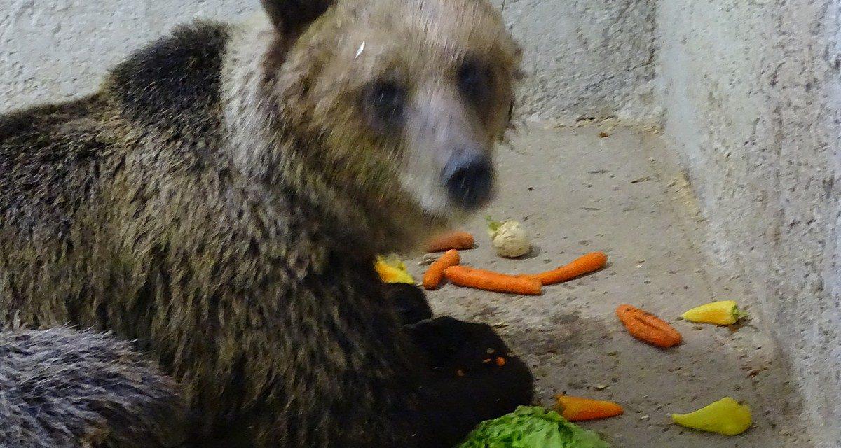A befogott medve napjai a Szegedi Vadasparkban